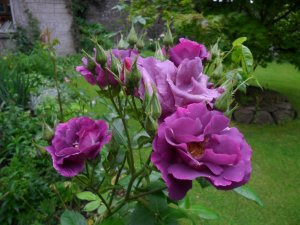 rosa raphsody in blue