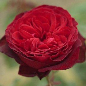 rosa royal garden