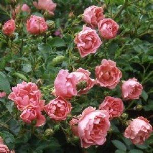 rosa surrey
