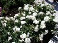 rosa white meidiland