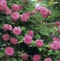 rosa zepherine drouhin