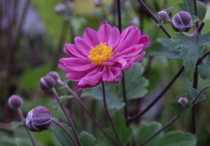 anemone prinz heinrich