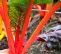 bietola da costa orange