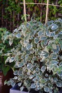 hydrangea silver lining