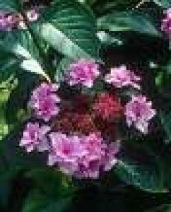 hydrangea etoile violette