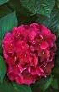 hydrangea foleus purpureus