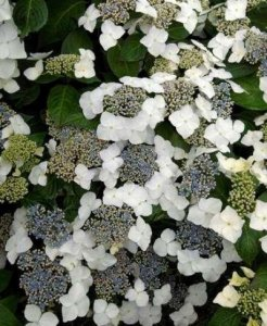 hydrangea great star blanc bleu