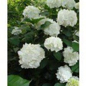 hydrangea immaculata