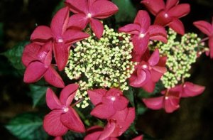 hydrangea macrophylla teller rotschwanz