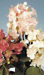 hydrangea early sensation