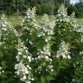 hydrangea paniculata everest