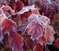 hydrangea quercifolia burgundy