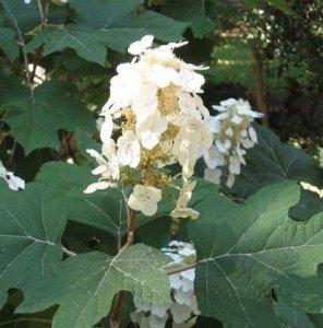 hydrangea quercifolia 3