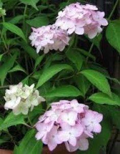 hydrangea serrata belladonna