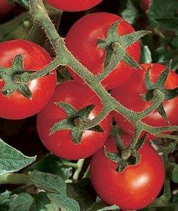 pomodoro ciliegino cherry chadwick