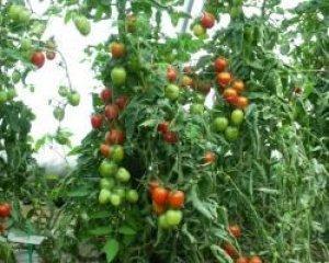 pomodoro de berao