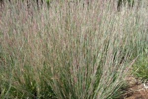 andropogon scoparius wildwest