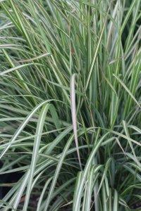 calamagrostis avalanche