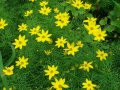 coreopsis verticillata grandiflora