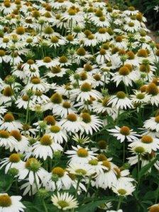 echinacea feeling white