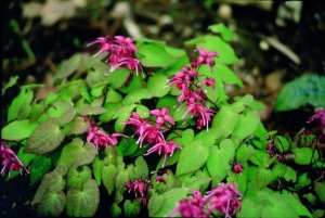 epimedium rose queen