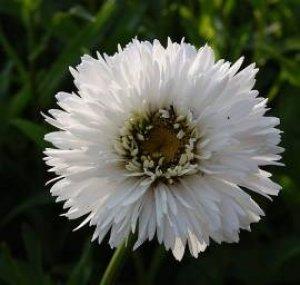 leucanthemum snehurka
