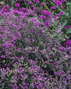 limonium latifolium violetta