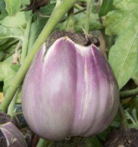 melanzana violetta pallida di firenze