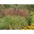 miscanthus krater