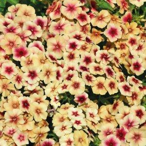 phlox drummondii cherry caromel