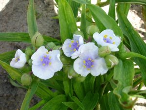 tradescantia angel eyes