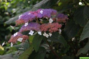 hydrangea aspera pink giant
