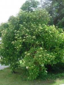 hydrangea heteromalla bretschneideri