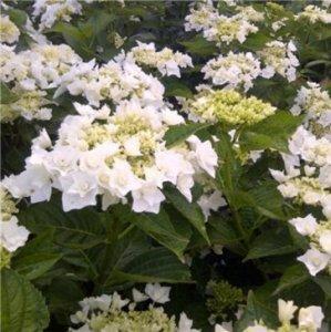 hydrangea coco