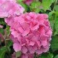 hydrangea dolce farfalle