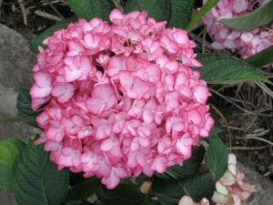 hydrangea dutch ladies salsa