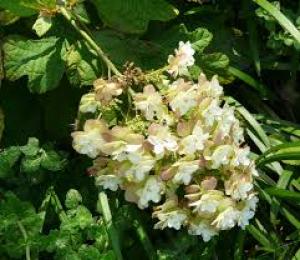 hydrangea quercifolia tennessee clone