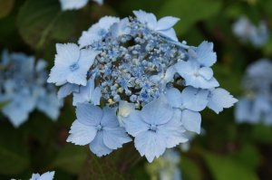 hydrangea blue deckle