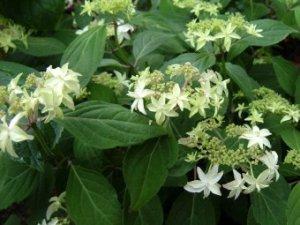 hydrangea serrata shinonome