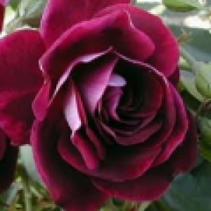 rosa burgundy ice