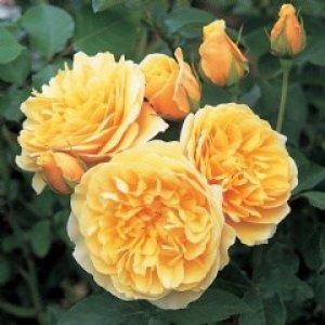 rosa Graham Thomas
