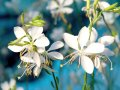 gaura flamingo Snow