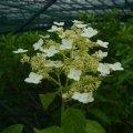hydrangea heteromalla long white
