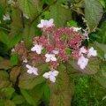 hydrangea heteromalla morrey's form