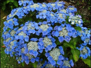 hydrangea blaumeise