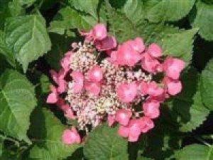 hydrangea fasan