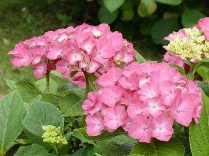 hydrangea miss hepburn