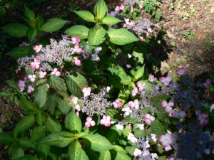 hydrangea oamacha