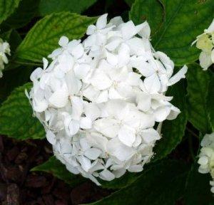 hydrangea warabe