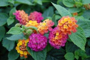 lantana bushy orange magenta